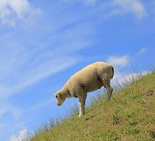 Dutch mountain sheep! by Stephanie Owen