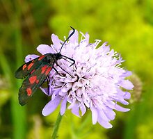 burnet moth on wild scabious by christinecliff