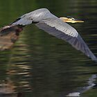 Great Blue Heron Taking Off by Robert H Carney