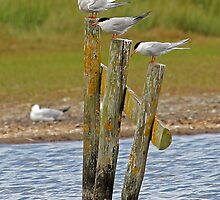 Who's Tern is it Now! by Mark Hughes