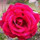 Richly Perfumed with deep colour! Lovely Rose. by Rita Blom