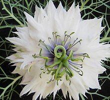 Nigella Damascena Flower by paulagregovich