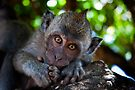 Balinese Macaque by Chris Westinghouse