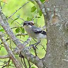 Loggerhead Shrike by Caren