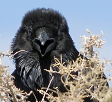 Knocking Raven PFNP by DWMMPhotography