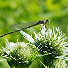 Dainty Damsel by Robin Clifton