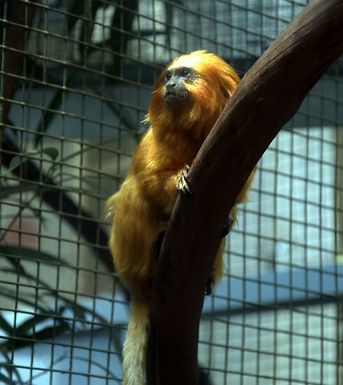 Golden Lion Tamarin by Chuck Chisler