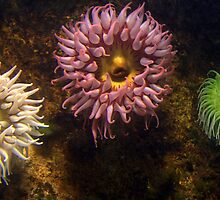 Bright Anemone by Chuck Chisler
