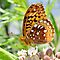 Great Spangled Fritillary. by William Brennan