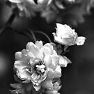 Roses in Tones by Joy Watson