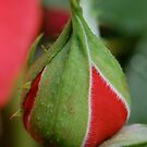 &quot;Tightly in a bud.&quot; by delaluna photography