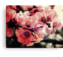 Japanese Quince - Single Branch Canvas Print