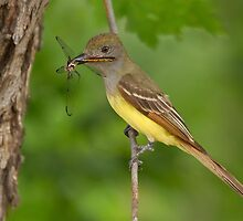 Dragon for Dinner - Great Crested Flycatcher. by Daniel Cadieux