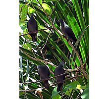 Imperial Pigeons Photographic Print
