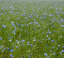 Field of Flax by Christopher Cullen