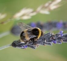 Bumble bee - Lavender  by Floydwilson