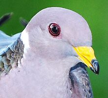 Band Tailed Pigeon by Larryp