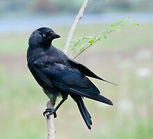 Jackdaw in the rain by M.S. Photography/Art