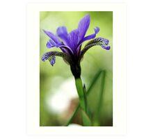 Holt Pond - Blue Flag (Iris) Art Print