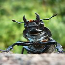 Stag Beetle female ( Lucanus cervus) by Istvan froghunter