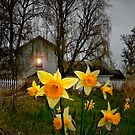 Daffodil&#x27;s at Finley Refuge. by Charles &amp; Patricia   Harkins ~ Picture Oregon