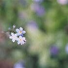 Forget-me-not. Connie Hansen Garden, Lincoln City. by Christina Weber