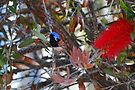 Variegated Fairy-wren in my bottlebrush tree. by Ian Berry