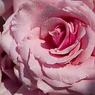 Pink Rose by vivsworld