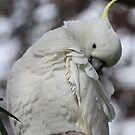 Pretty Me Up - Sulphur Crested Cockatoo  by Jacqueline  Murphy