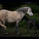 Eriskay n foal by David Ford Honeybeez photo