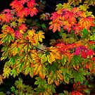 Vine Maple by Charles &amp; Patricia   Harkins ~ Picture Oregon