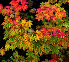 Vine Maple by Charles & Patricia   Harkins ~ Picture Oregon