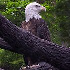 American Bald Eagle by Anthony Roma