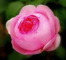 Pink Rose, Ness Gardens, Liverpool University. by PhillipJones