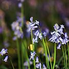 Bluebells by Llawphotography