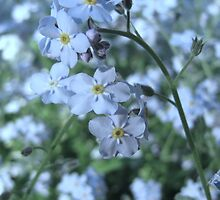 Myosotis (forget-me-nots) by hummingbirds