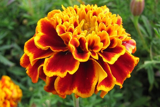 Magnificent Marigold by hummingbirds