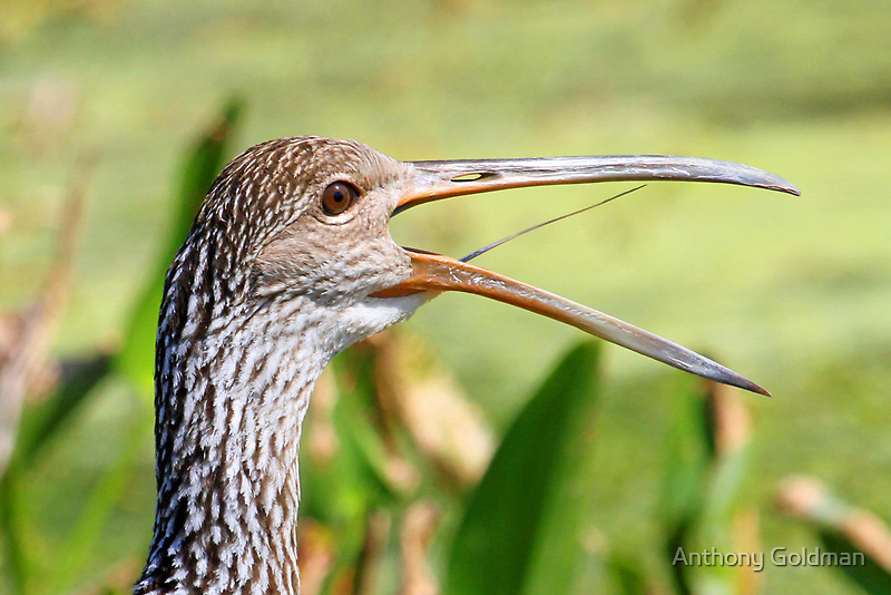 A very verbal limpkin! by jozi1