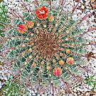 Barrel Cactus in Bloom © by jansnow