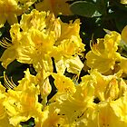 Yellow Rhodies art Colorful Rhododendrons Flowers by BasleeArtPrints