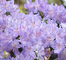 Rhododendron Flowers Purple Lavender Rhodies art by BasleeArtPrints