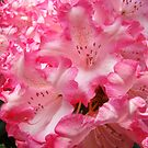 Summer Rhododendron Flowers Pink White art prints by BasleeArtPrints