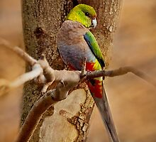 """""""Little Red Capped Parrot"""" by Heather Thorning"""