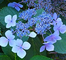 Blue Hydrangea Flowers art prints Garden Baslee Troutman by BasleeArtPrints