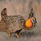Prairie Chicken by Shawn Swain