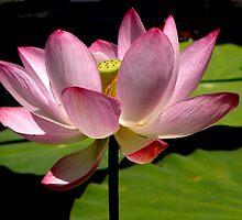 Lotus Flower by ccwri2010