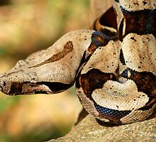 Boa constrictor - Bolivia by Jason Weigner