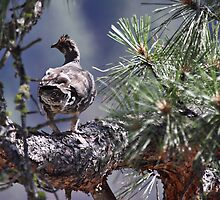 Grouse in a pine tree by KansasA