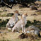 Cheetahs of the Mara by Jennifer Sumpton