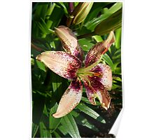 Salmon Pink lily Poster